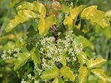 Poison-Oak.jpeg