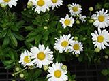Shasta-Daisy.jpg