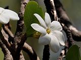 bush-gardenia.jpg