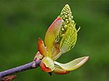 chestnut-bud.jpg