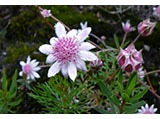 pink-flannel-flower-1.jpg