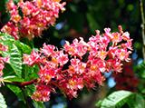 red-chestnut.jpg