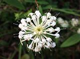 slender-rice-flower-1.jpg