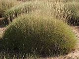 spinifex.png