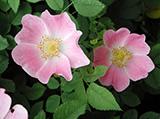 wild-rose.jpg