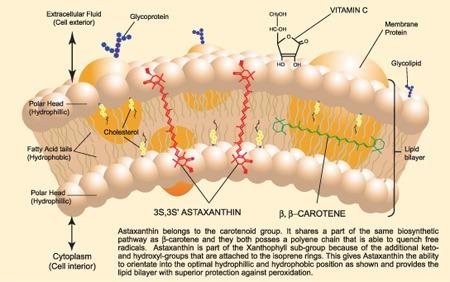 Membrana cellulare con astaxantina